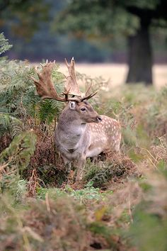Fallow Deer Beautiful Creatures, Animals Beautiful, Royal Animals, Deer Photography, Big Deer, Scottish Deerhound, Fallow Deer, Hunting Party