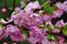 some of the prettiest shrubs care pruning and planting, flowers, gardening, how to, Double Flowering Almond