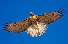 the red-tailed hawk has become a strong power animal for me - here's another bird I'd love to have as a chest piece Eagles, Hawk Tattoo, Power Animal, Mundo Animal, Birds Of Prey, Bird Watching, Bird Feathers, Beautiful Birds, Penguins