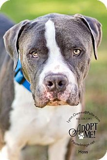 Chandler Az Mastiff American Bulldog Mix Meet Hoss A Dog For