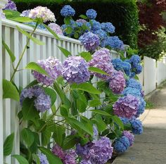 Gorgeous blue and lavender hydrangeas!