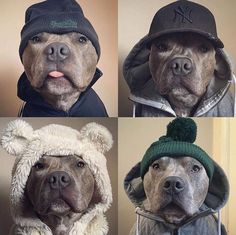 Henry would NEVER let me do this to him but these are freakin ADORABLE True Pitty #pitbull