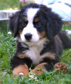 Though I love Labrador Retrievers, I'm falling in love with the Bernese Mountain breed. The only caveats are that they grow to be ginormous and they don't live very long.