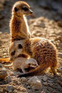 ~ Meerkat family