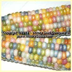 RAINBOW GARDEN - CORN (Glass Gem Corn)  --  Heirloom, Open-Pollinated, non-Hybrid Victory Seeds®
