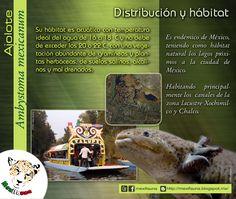 Ajolote (Ambystoma mexicanum): MAYOR INFORMACIÓN: DISTRIBUCIÓN Y HÁBITAT http://mexifauna.blogspot.mx/2014/08/ajolote-ambystoma-mexicanum.html