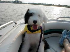 First mate Adorable Dogs, Adorable Animals, Cute Puppies, I Love Dogs, Puppy Love, Sheep Dogs, Cute Dog Pictures, Old English Sheepdog, Gentle Giant