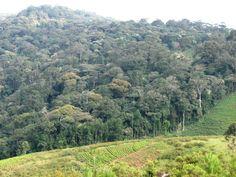 Burundi Parc National de la Kibira de 80 km de long et environ 8 km de large, couvre 40 000 ha. Ce milieu accidenté est principalement dominé par une forêt tropicale de montagne, étagée entre 1 600 m et près de 2 700 m.