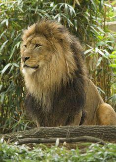 magicalnaturetour: Lion Surveying His Domain 2 by PruittAllen on Flickr.
