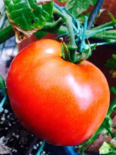Tomato, Tomato Tomato Tomato, Canning, Vegetables, Home Canning, Veggies, Vegetable Recipes, Conservation