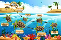 Buy Life Cycle of the Sea Turtle by artisticco on GraphicRiver. A vector illustration of life cycle of the sea turtle. Vector illustration, zip archive contain eps 10 and high resol. Turtle Facts For Kids, Sea Turtle Facts, Science For Kids, Science And Nature, Sea Turtle Life Cycle, Terrarium Reptile, Turtle Habitat, Save The Sea Turtles, Les Reptiles
