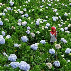 Taman Bunga Selecta, Kota Batu, Malang, Jawa timur. . . Bunga desa di hamparan Hortesian..:D . Inframe @uesabrina