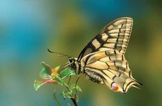 unique butterflies | Swallowtail butterfly. Nikon D200, Nikon 105mm macro lens. 1/8sec @ f ...