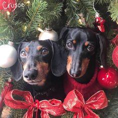 """""""Merry Christmas from Crusoe & Oakley"""" ~ Crusoe"""""""