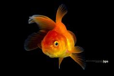 goldfish isolated on black background | Flickr - Photo Sharing!