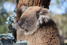 Check out this koala at the Phillip Island Koala Conservation Center in Australia. Photo by Taylor Payne. #UDAbroad