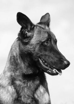 Famous Dogs in History: Cairo: Part of Navy SEAL Team that Killed Osama bin Laden Belgian Malinois Dog, Toy Dog Breeds, Famous Dogs, Belgian Shepherd, War Dogs, Military Dogs, All About Animals, Therapy Dogs, Us History