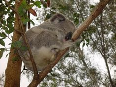 Snooze | 20 Cute Koalas Catching Some Zs | ANIMALS - ahfunny