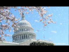 Cherry Blossoms - DC Celebrates 100 Years of Heritage