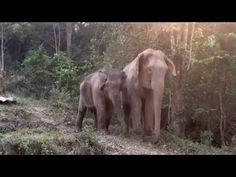 MeBai and her Mother after a three-year separation. Mother And Baby Elephant, Elephant Love, Mama Elephant, Beautiful Creatures, Animals Beautiful, Baby Animals, Cute Animals, Baby Elephants, Animal Babies