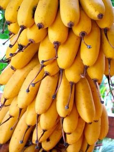They are called bacobas, in St. Croix, small bananas but very sweet....love them and you could eat more than one at a time.  LOL!