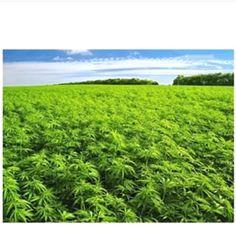 @labicraverie    -  -  -  -  -  #labicraverie #joint #beuh #cannabis #thc #delafrappe #frenchsmoker #frannabis #frenchstoner #weedfrance #pilon #bedo #petard #spliff #franceweed #francecannabis #cannabis #indica #sativa #marijuana