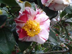 gorgeous camellia!
