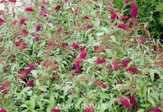 Monrovia's Potter's Purple Butterfly Bush details and information. Learn more about Monrovia plants and best practices for best possible plant performance.