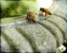 Honey bees gettin a cool drink. My Honey, Honey Bees, Mason Bees, I Love Bees, Bee Skep, Bee Art, Beautiful Bugs, Bee Happy, Save The Bees