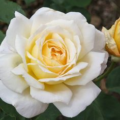 """Lemon Spice, A lovely, very fragrant rose.'Lemon Spice' loves the heat. Long pointed buds open into large, high centered, fully 5"""" double blooms (petals 25) of bright yellow. The blooms are set against a background of dark leathery green foliage on a continually blooming plant."""