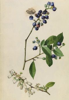 Giclee Print: A Sprig of Highbush Blueberry Blossoms and Berries by Mary E. Blueberry Flowers, Blueberry Plant, Plant Illustration, Botanical Illustration, Tattoo Illustration, Botanical Drawings, Botanical Prints, Bush Drawing, Highbush Blueberry