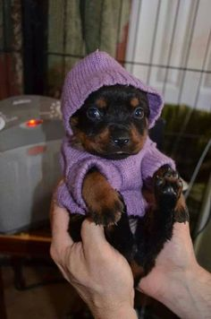 And this little rottie who is all cozy in her sweater. | 42 Of The Most Important Puppies Of All Time