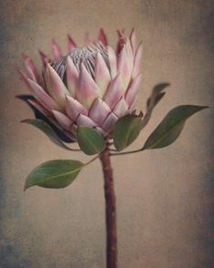 Garden Flowers - Annuals Or Perennials Protea&Fynbos Print Set - Prints Only By Natascha Van Niekerk Fine Art Photography Protea Art, Flor Protea, Protea Flower, Dahlia Flower, Botanical Illustration, Botanical Prints, Artistic Photography, Fine Art Photography, King Protea