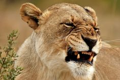 A lioness that has no problem in showing its fury. Could our presence aggravated her anger?