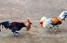 Palenque, pelea de gallos