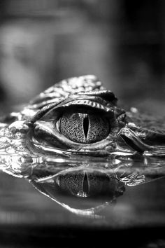 pinterest.com/fra411 #B&w #crocodil #eye
