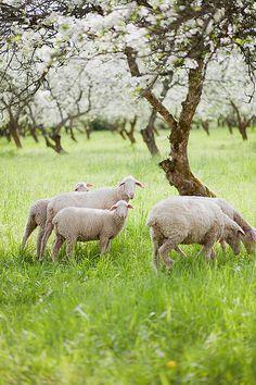 Country Living… sheep grazing in spring orchard Lord Is My Shepherd, The Good Shepherd, Farm Animals, Animals And Pets, Cute Animals, Alpacas, Beautiful Creatures, Animals Beautiful, Baa Baa Black Sheep