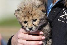 Baby Cheetah At Columbus Zoo