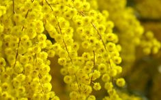 Beautiful acacia flower yellow glare Acacia flower means secret love Yellow Wedding Flowers, Orange Flowers, Mimosas, Trees And Shrubs, Trees To Plant, Types Of Flowers, Beautiful Flowers, Types Of Oranges, Le Mimosa
