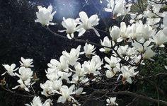 「ハクモクレン(白木蓮)」  モクレン科 - ひげ爺さんのお散歩日記