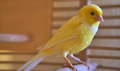 Train your canary fly in a bird-safe room with these pet bird tips. Canary Cage, Flight Cage, Flies Outside, Best Pet Birds, Bird Breeds, Canary Birds, Safe Room, African Grey Parrot