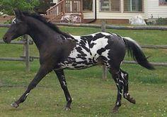 Appaloosa Horses, Horse World, Beautiful Horses, Color Patterns, Peacocks, Crosses, Tack, Animals, Colors