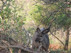 A beautiful photo of an antelope spotted by our volunteers during a game drive! Personal And Professional Development, Volunteer Abroad, Volunteers, Sustainability, United Kingdom, Creepy, Journey, Game, Animals