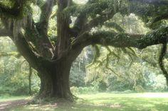 Old Live Oak, Tallahassee, FL