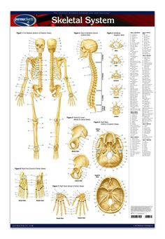 "Skeletal System (Poster Size) 24"" x 36"" laminated. The Skeletal System poster provides front and rear views of the human skeleton system."
