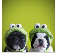 Poster Print Wall Art Print entitled French bulldogs wearing frog hats, None
