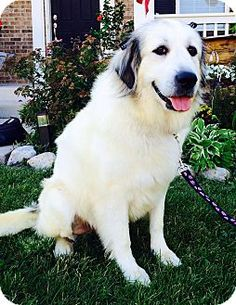 9/17/14 Oswego, IL - Great Pyrenees. Meet Gracie, a dog for adoption. http://www.adoptapet.com/pet/11586086-oswego-illinois-great-pyrenees