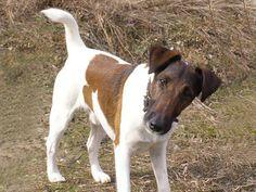Conheça a raça Fox Terrier de Pelo Liso
