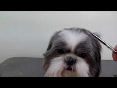 Grooming a Shih Tzu - Basic Clip - YouTube