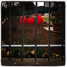 #tulip #flowers #red #garden #jail #gate  #lumiaphotography #shotonlumia #lumia #tulipani #fiori #rosso #sbarre #cancelli #prigione #flowersofinstagram #flowerporn #flowerpower #instagrammers #instamood #instashot #likeme #followme